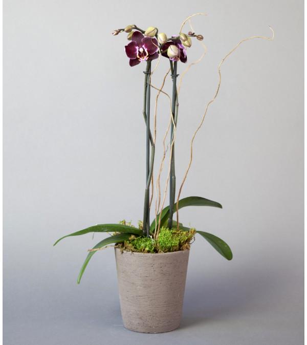 Sunnyside Gardens Double Stemmed Orchid Plant