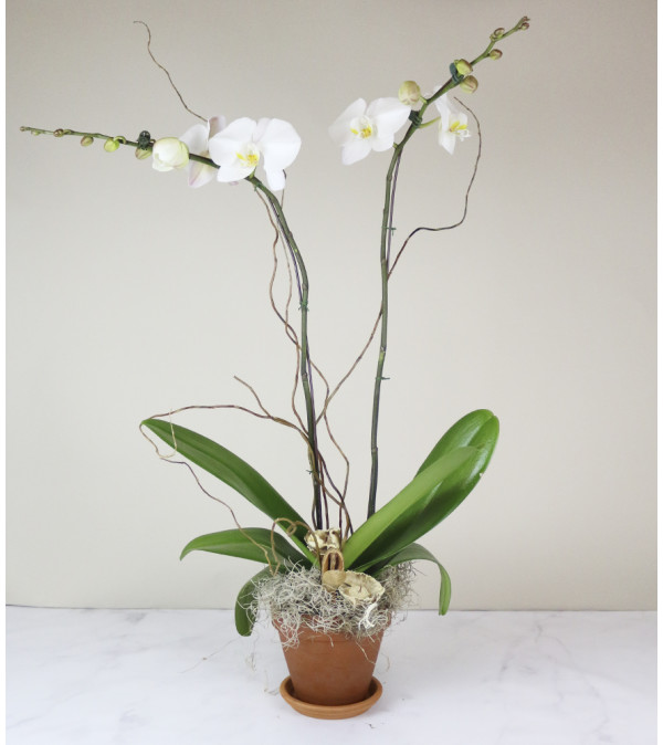 Old City's Classic Orchid