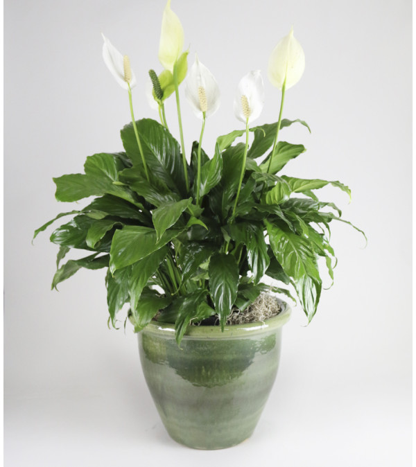 Large Peace Lily Planter