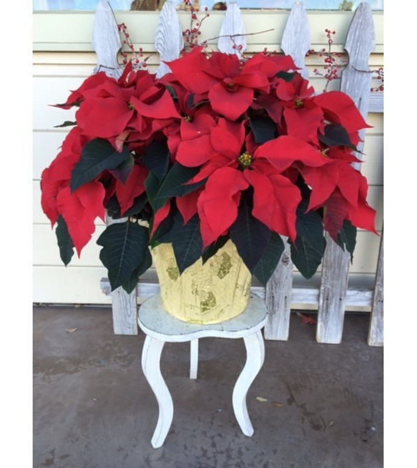 Giant Holiday Poinsettia
