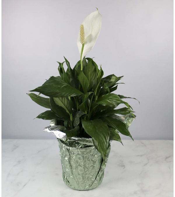 Large Decorative Peace Lily