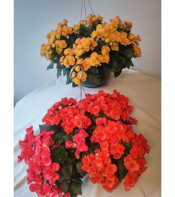 Begonia Hanging Baskets