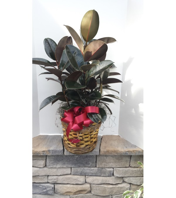 """8"""" Rubber Plant"""