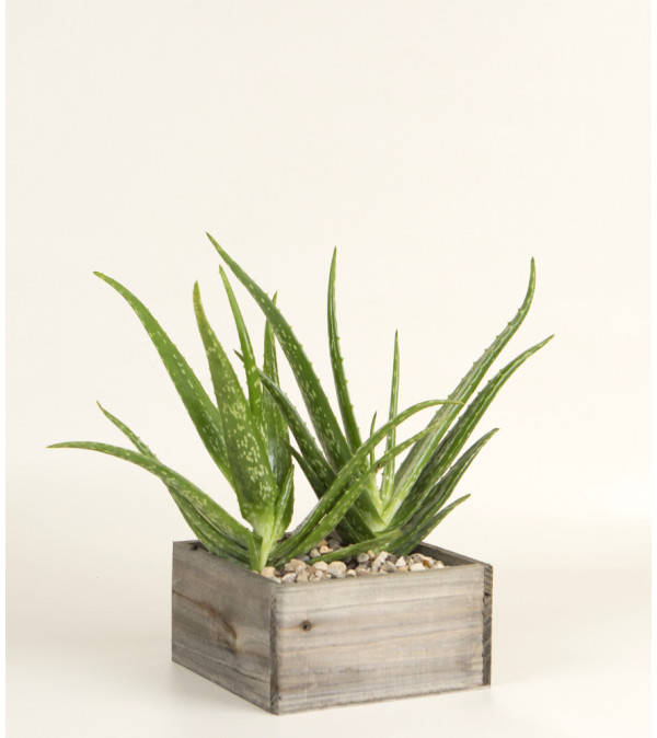 Decorative Aloe Plant