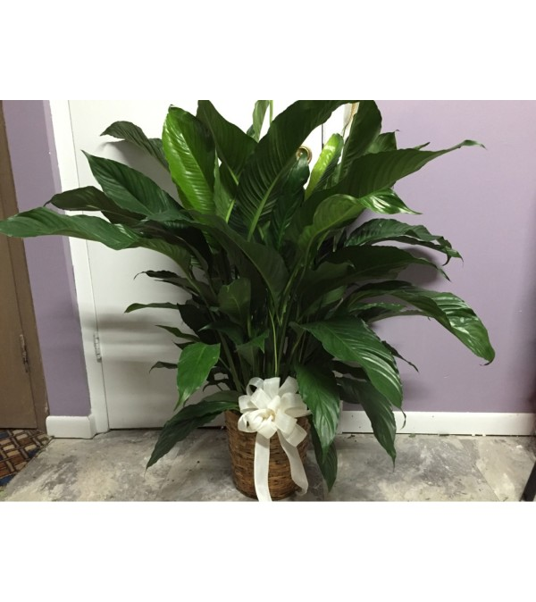 LARGE PEACE LILLY  PLANT