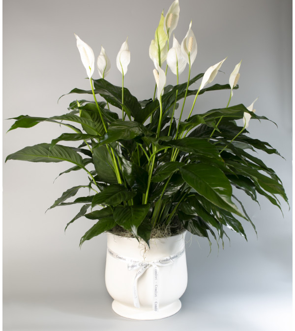 Seithel's Peace Lily in Ceramic