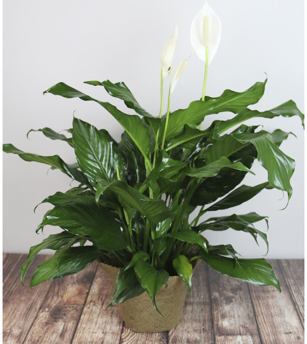 Rudy's Peace Lily Planter
