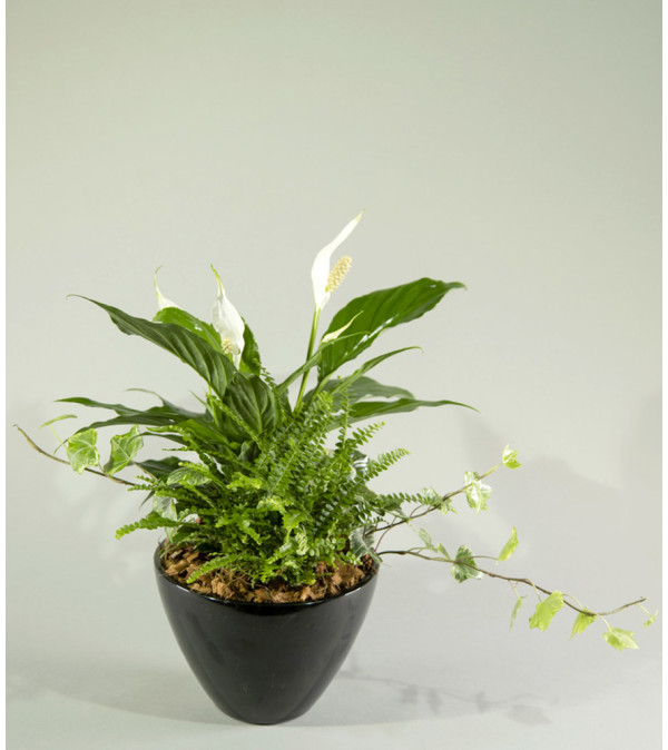 Peace Lily Dream