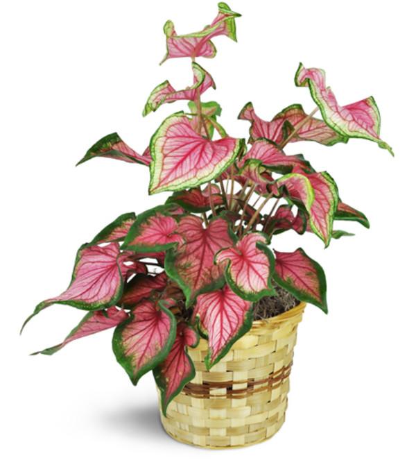 Variegated Caladium Plant
