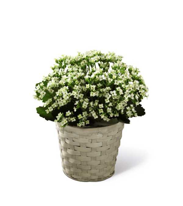 The FTD® White Kalanchoe