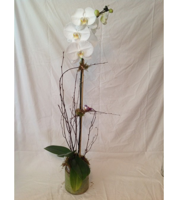 Peaceful Orchid Plant