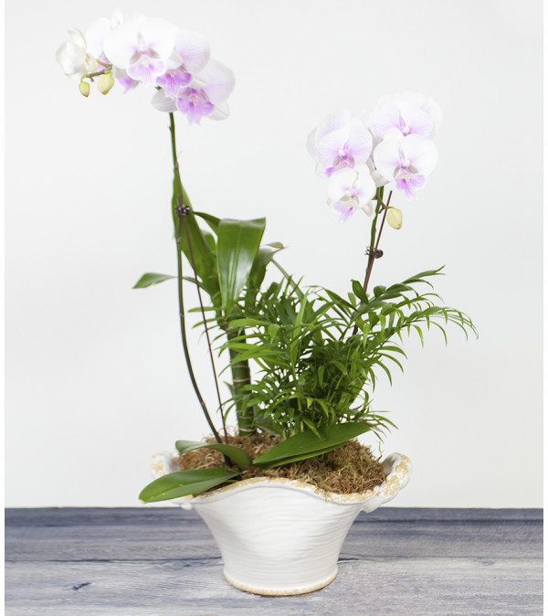 Decorative Orchid Plant