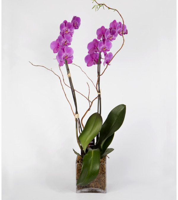 Double Purple Phalaenopsis Orchid