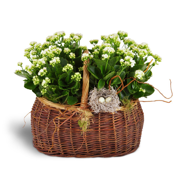Nestling Kalanchoe Basket