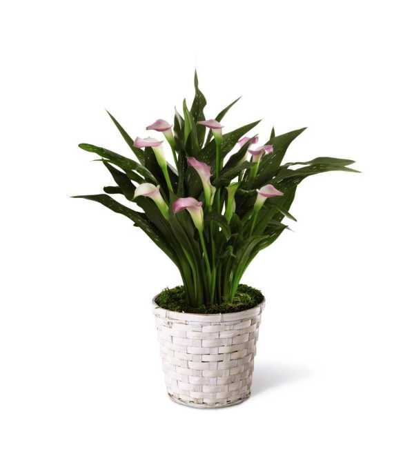 The FTD® Calla Lily Planter - White