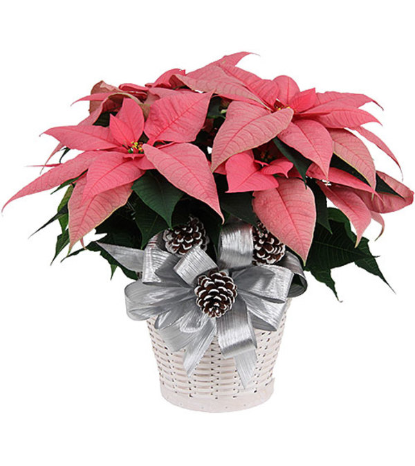 Extra Large Pink Poinsettia with Christmas greens