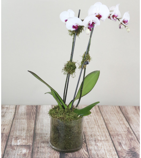 Classic Orchid Plant
