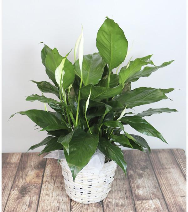 Basket Lily