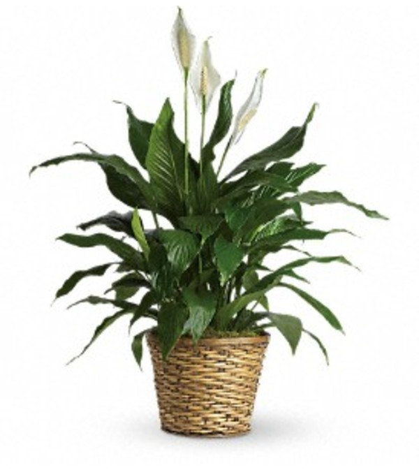 GRACEFUL GREEN PLANT