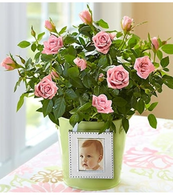 Rose Plant in Green Planter