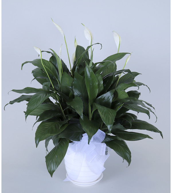 Lee's Peace Lily Plant