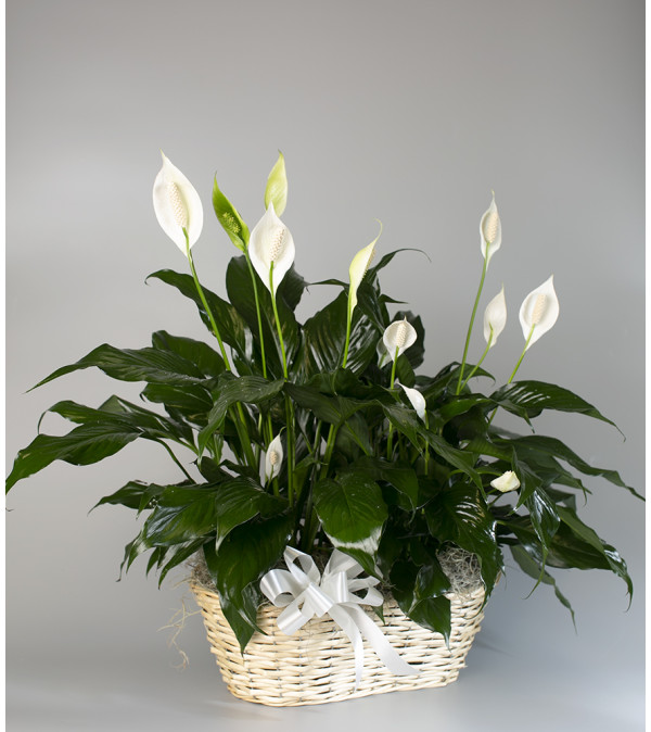 Seithel's Double Peace Lily in White Basket
