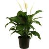 Elegant Spathiphyllum premium