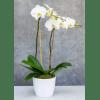 Double Stem White Orchid premium