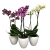 Orchid Plants standard