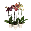 Orchid Plants deluxe