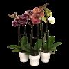Orchid Plants premium