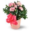 flowering azalea plant standard
