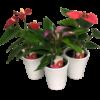 Single Anthurium Ceramic pot standard