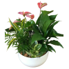 Anthurium  Tropical Garden standard