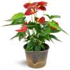 Ravishing Red Anthurium deluxe