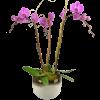 Vivid Triple Orchid standard
