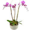 Vivid Triple Orchid deluxe