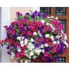 Petunia Hanging baskets, various sizes deluxe
