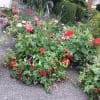 Blooms outdoor standard