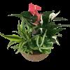 Anthurium  Tropical Garden standard