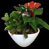 Anthurium Planter Garden deluxe
