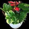 Anthurium Planter Garden premium