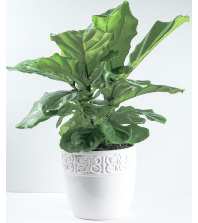 Ficus Lyrata (fiddle leaf-fig)