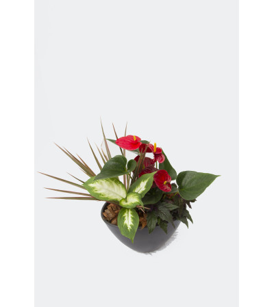 Mixed Anthurium Planter