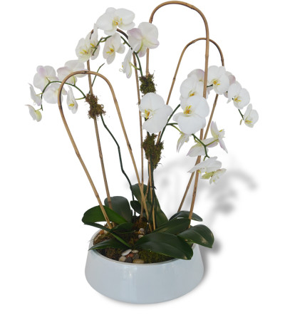 Four Phalaenopsis Orchids