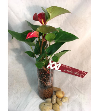 Anthurium In Glass Cylinder
