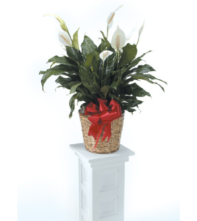 Peace Lily CTT30-210