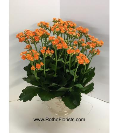 Kalanchoe Succulent Plant