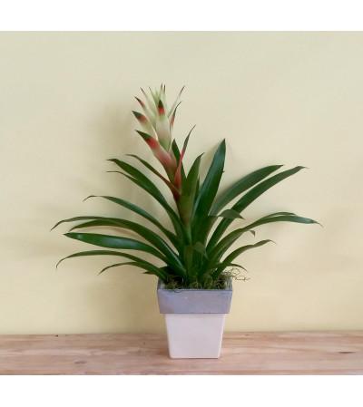 Tall Spike Bromeliad