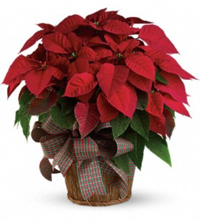 Red Poinsettia in Basket